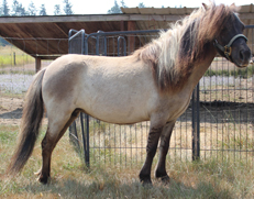 Main picture of Mare Miniature Horse Willow, a Grulla Dun Mare